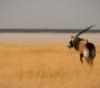 Etosha - Eating Oryx