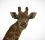Etosha - Giraf Portrait