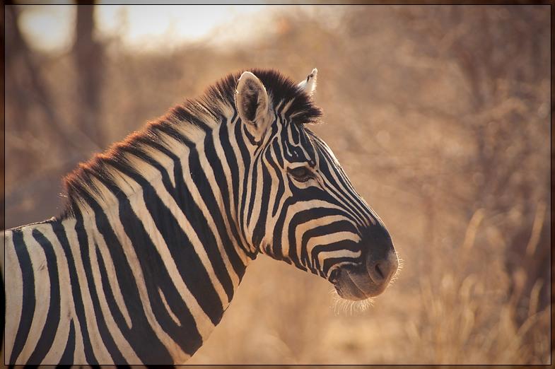Etosha - Backlit Zebra
