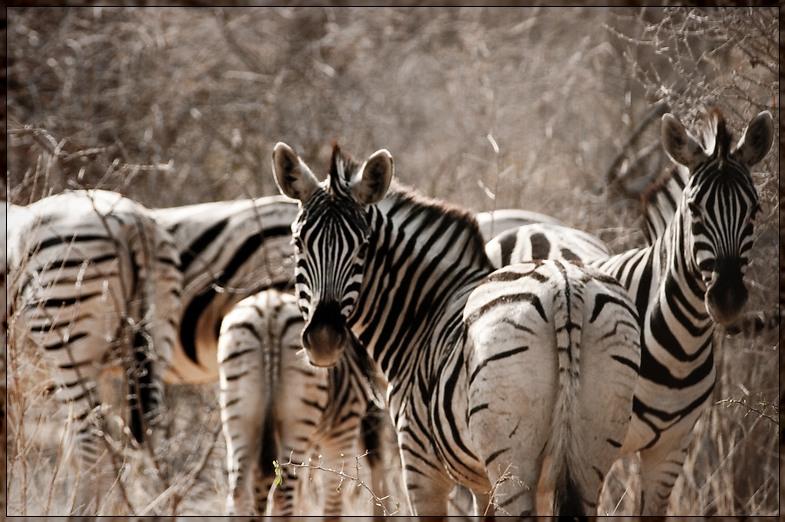 Etosha - Zebras