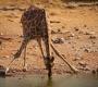 Etosha - Drinking Giraf