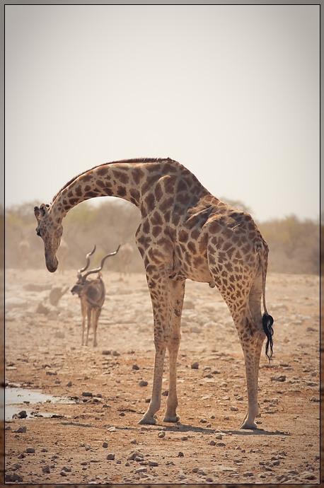 Etosha - Sad Giraf