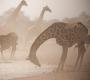 Etosha - Dusty Girafs