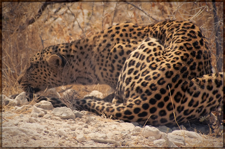 Etosha - Hunting Leopard