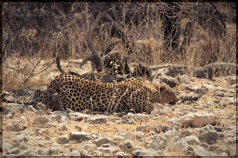 Etosha - Still Hunting