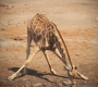Etosha - Another Drinking Giraf