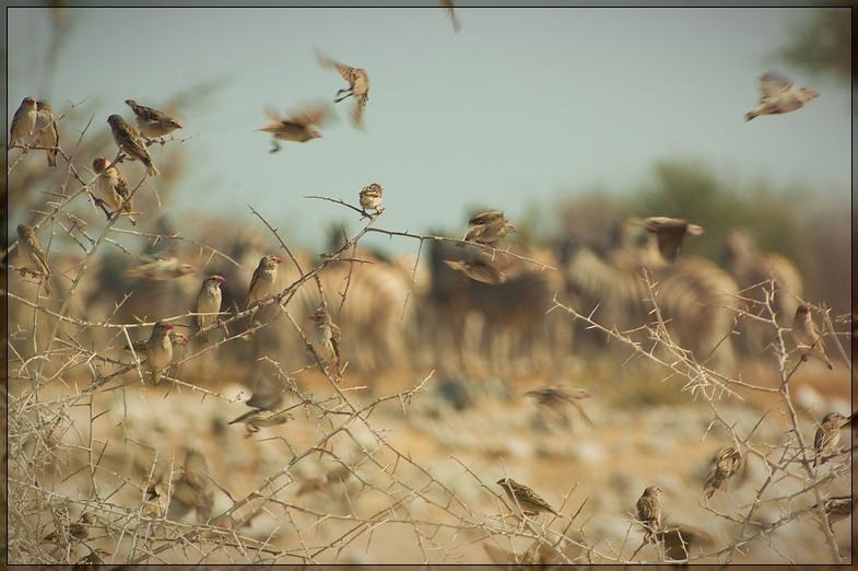 Etosha - Birds