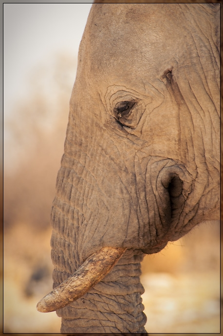 Etosha - Elephant Portrait