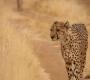 Kamanjab - Cheetahs