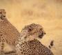 Kamanjab - More Cheetahs