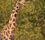 Seisfontein - Giraf