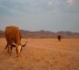 Seisfontein - Cows
