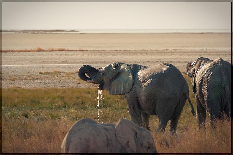 Etosha - Drinking Elephant