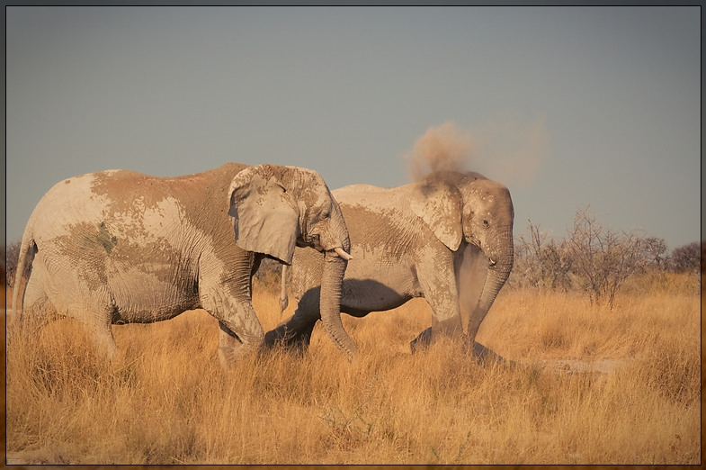 Etosha - Dusty Elephants