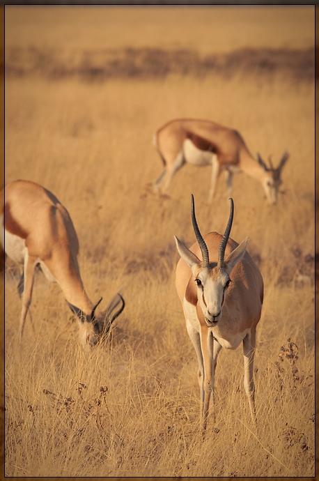Etosha - Springboks
