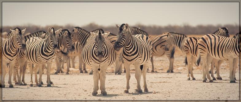 Etosha - The Zebra Connection