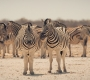 Etosha - The Zebra Connection