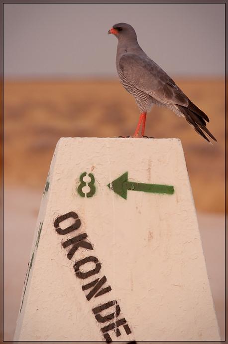 Etosha - Falcon