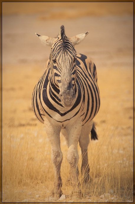 Etosha - Zebra is watching you